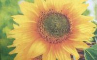 020 Servetel floarea soarelui