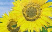 893 Servetel floarea soarelui