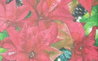 971 Servetel Poinsettia