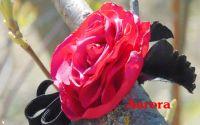 Brosa Rose