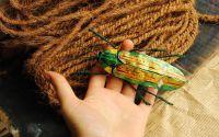 Brosa Chrysochroa Sp
